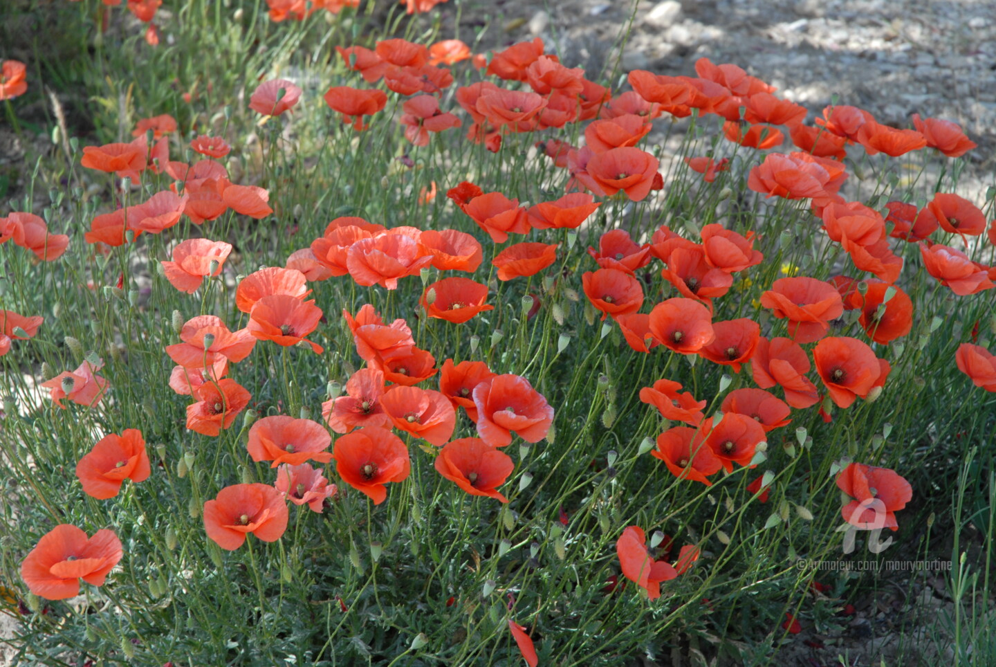 Martine Maury - coquelicots en avril