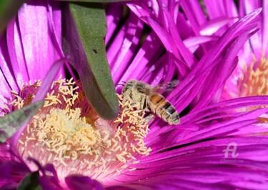 abeille et carpobrotus