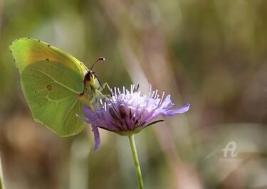 Le Citrin (papillon)