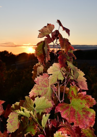 soleil couchant et vignes